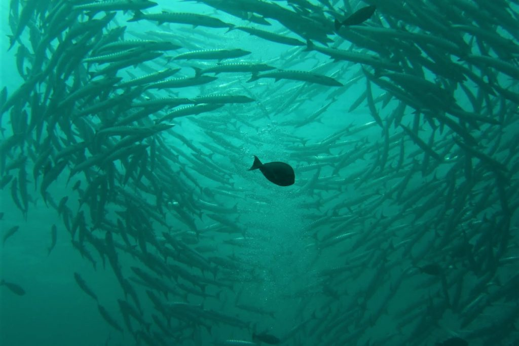 School of barracudas at Barracuda Point, one of the best scuba diving in the world