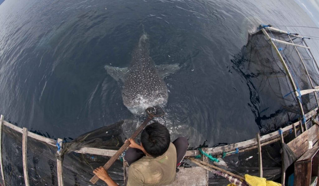 whale shark in Cenderawasih Bay