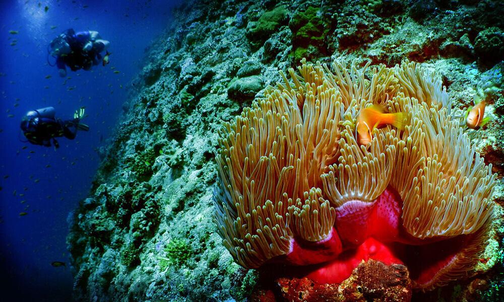 Heteractis magnifica the Maldives
