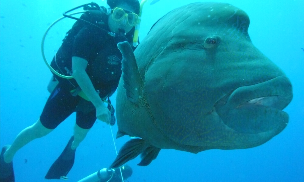 palau diving with napoleon wrasse