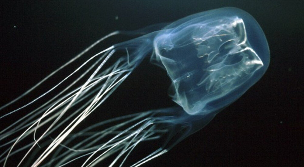 Australian Box Jellyfish