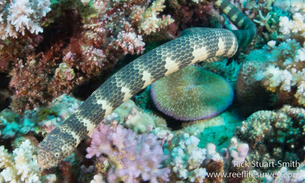 Dubois' sea snake (Aipysurus duboisii)